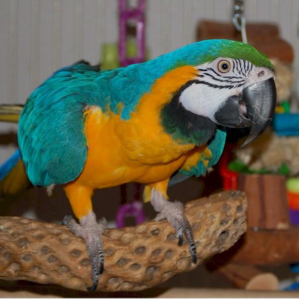 Blue and Gold macaw Parrots For Sale in Perth